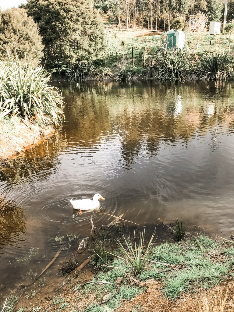 A lone duck having a swim on the pond