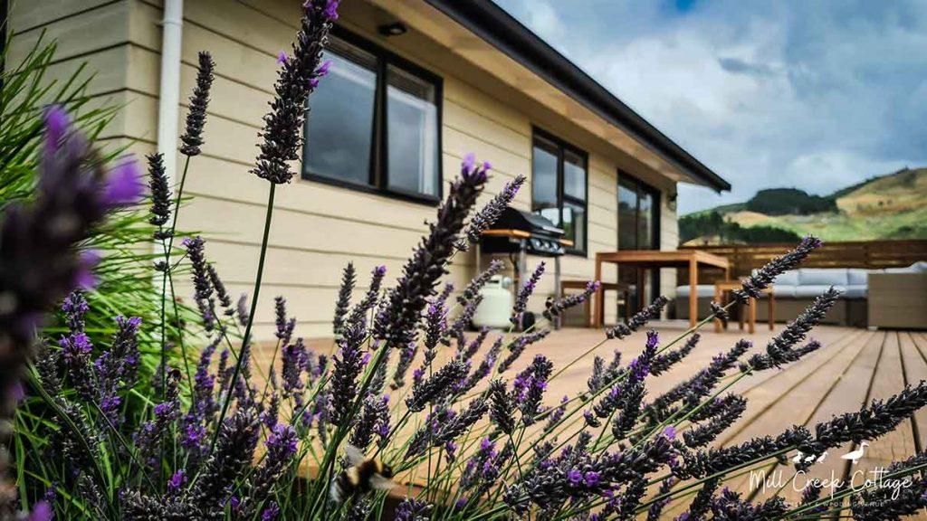 Lavender in the Mill Creek Cottage garden