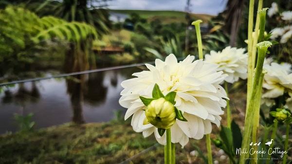 White dahlias by the pond